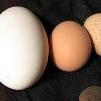 same jaja